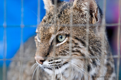 This juvenile Bobcat was recently brought to the refuge and is being evaluated.