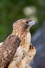 Red-Tailed Hawk 4