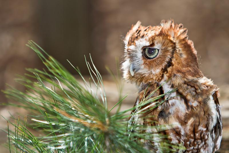 Eastern Screech Owl (Red) 3