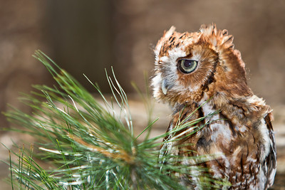 Eastern Screech Owl (Red) 3