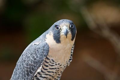 Paregrine Falcon 2