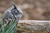 Eastern Screech Owl (Gray) 1