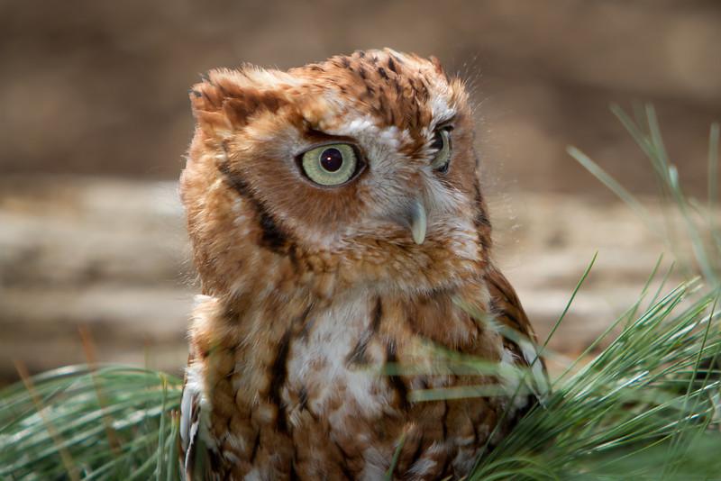 Eastern Screech Owl (Red) 1