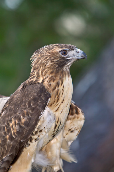 Red-Tailed Hawk 3