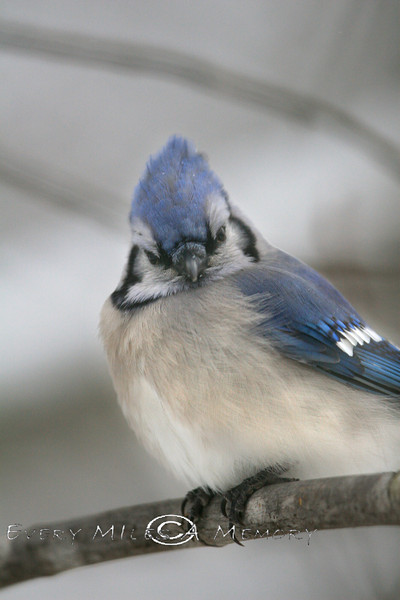 Angry looking Blue Jay - Michigan 2008