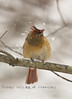 Female Cardinal shaking the snow off - Michigan 2008