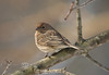 Common Female Redpoll