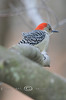 Female Red Bellied Woodpecker getting her feathers blown by the wind - Michigan 2008