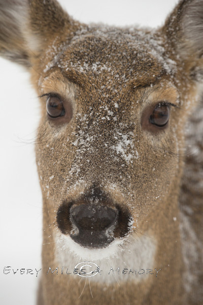 Close-up of a Doe - Michigan 2009