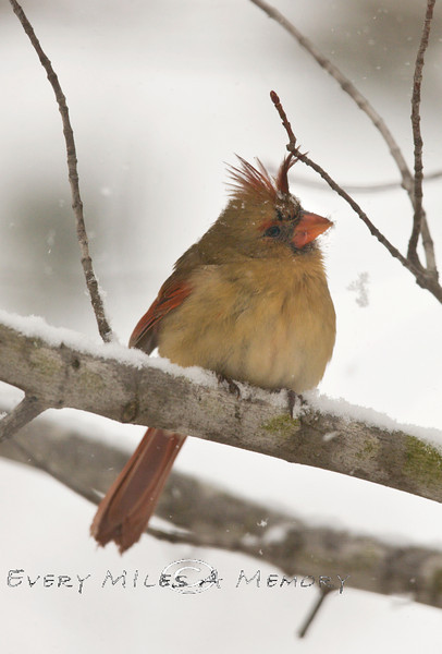 Female Cardinal sitting in the snow - Michigan 2008