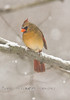 Female Cardinal with a bit of snow on her face
