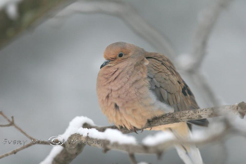 Fluffled Up Morning Dove - Michigan 2008