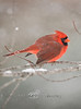 Male Cardinal in the snow - Michigan 2008