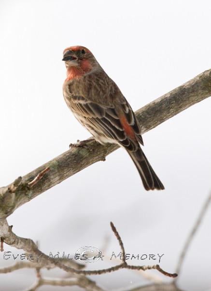 Male Common Redpoll