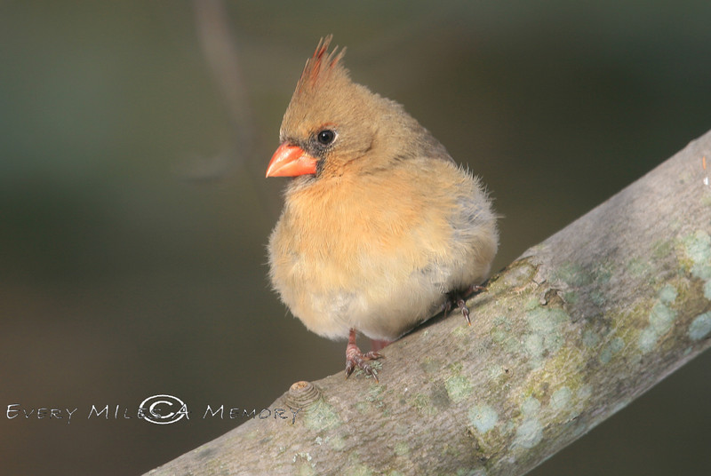 Brightly colored Female Cardinal