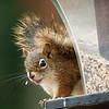 Red Squirrel-09132014-124631(f).jpg