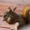 Red Squirrel-09162014-155905(f).jpg