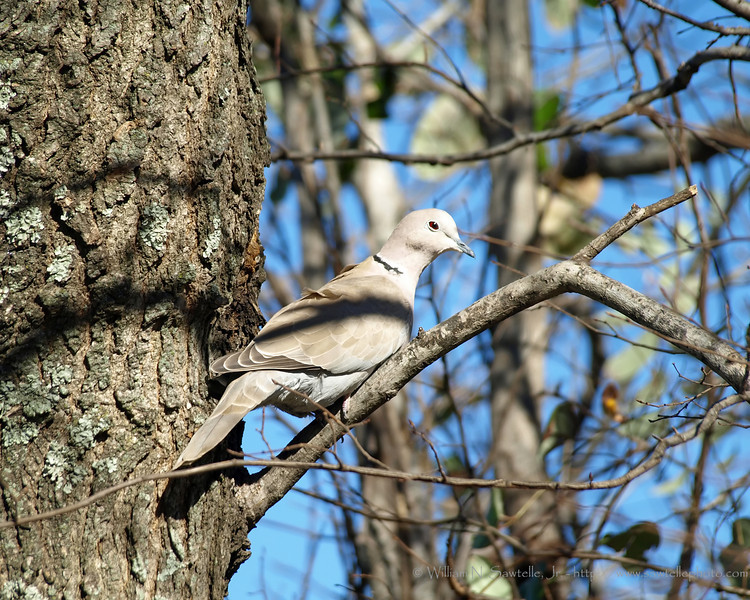 Eurasian Collered Dove - an invasive species that has been moving into the Mid-South for several years.