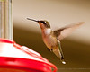 Sub-Adult Ruby Throated Hummingbird