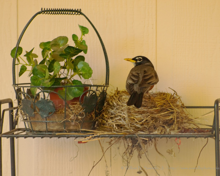 Mother Robin on her nest.<br /> She made her nest on one of my parents neighbor's patio.