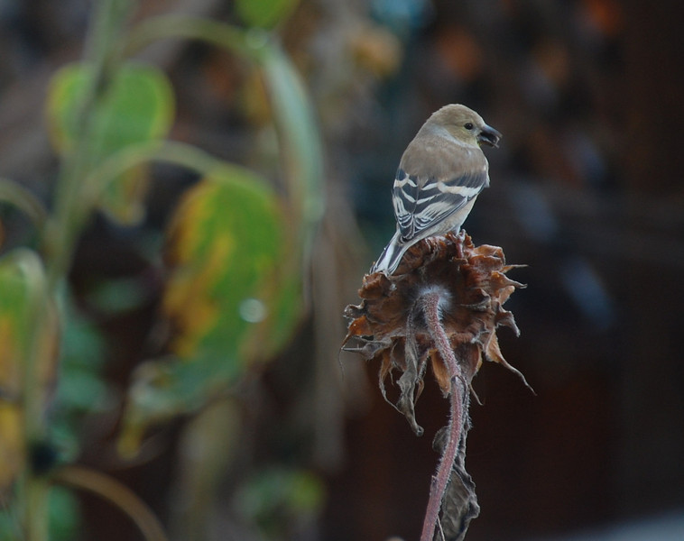 American Goldfinch.