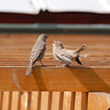 House Finches, young and old?