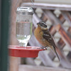 Black headed Grosbeak.