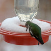 Anna's Hummingbird - didn't leave for the summer!