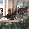 Common Starlings at the bird feeder