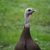 A wild turkey hen in our backyard