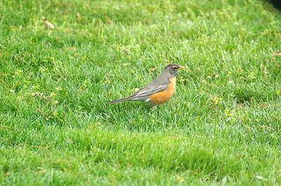 Female American Robin