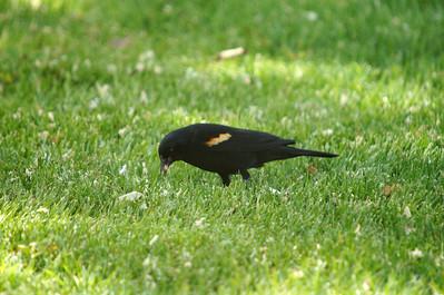 Male Red-wing Blackbird