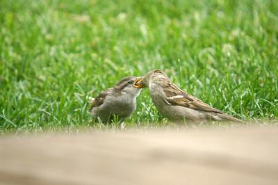 Female House Sparrow feeding young