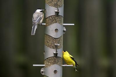 Chickadee and Finch