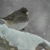 junco hunkered down