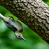 200608 Backyard Birds 10