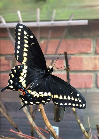 Backyard Butterfly's