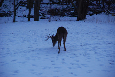 Backyard Deer