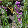 Swallowtail on Penstemon.