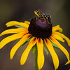 Leafcutter bee (Megachile) on Black Eyed Susan.