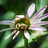 Hunt's bumble bee on Echinacea.