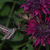 Sphinx moth (or Hawk moth)  on Bee Balm.