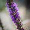 Liatris - with two kinds of bees.