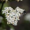 Yarrow is very popular with these fast moving small bees...
