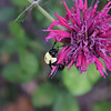 Brown-belted bumble bee on Bee Balm.