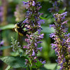 Morrison's bumble bee on Anise Hyssop.