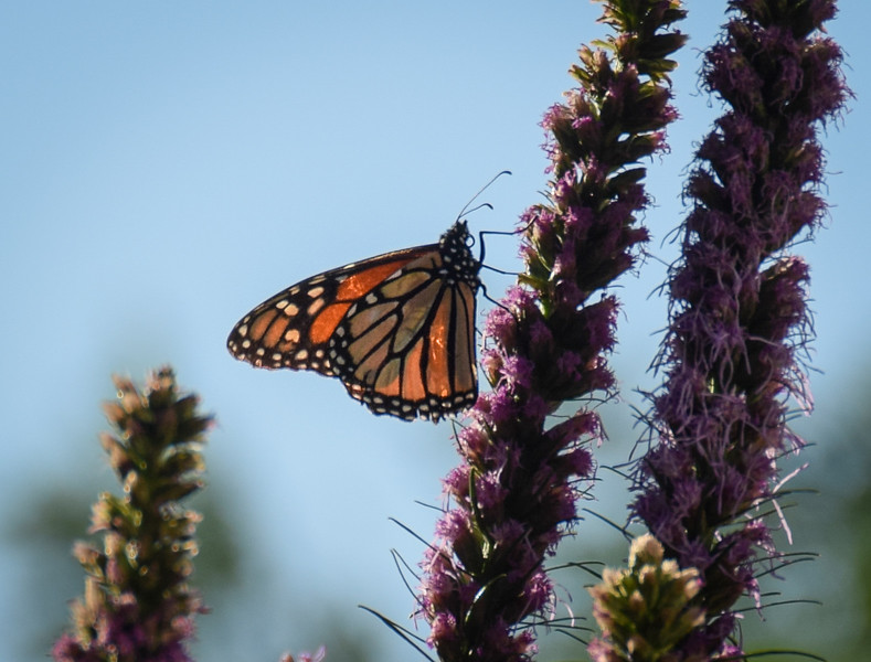 Our only visiting Monarch on Kobold Liatris (Blazing Star.)