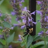 Competition on the Anise Hyssop.