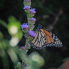 Our only visiting Monarch this year, on Rocky Mountain Liatris.