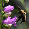 Nevada bumble bee on Prarie Dusk Penstemon.